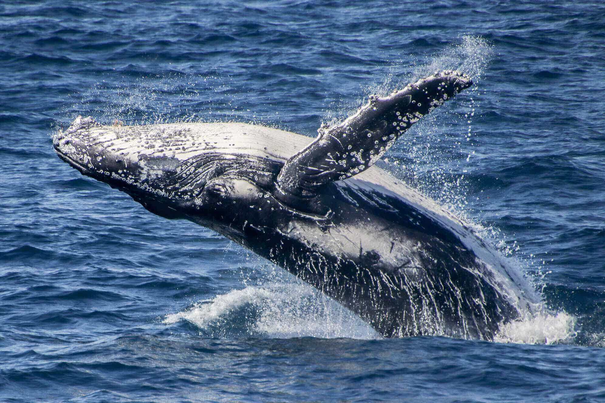 Why do humpback whales migrate north?
